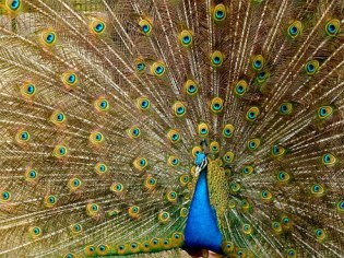 peacock-536478__340